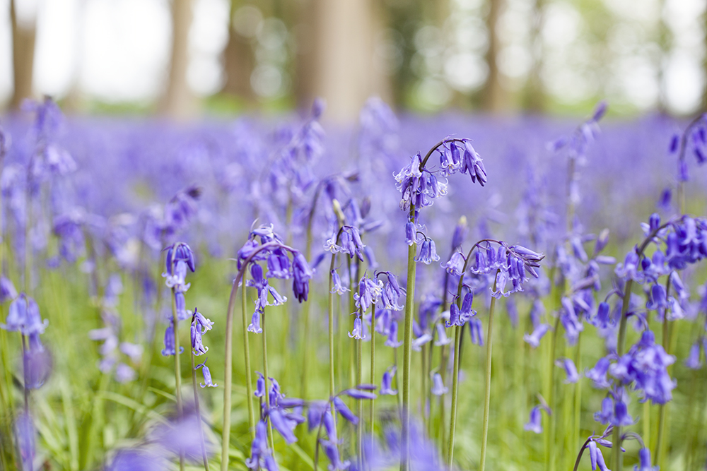 How to Simplify Your Life | natashadenness.co.uk (Photo of bluebells)