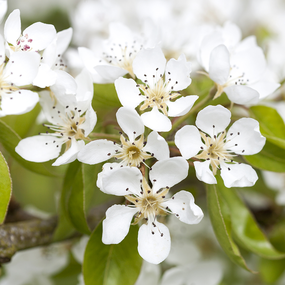 How to Avoid Distraction When You're Striving for Personal or Professional Success | natashadenness.co.uk | (photo of white blossom)