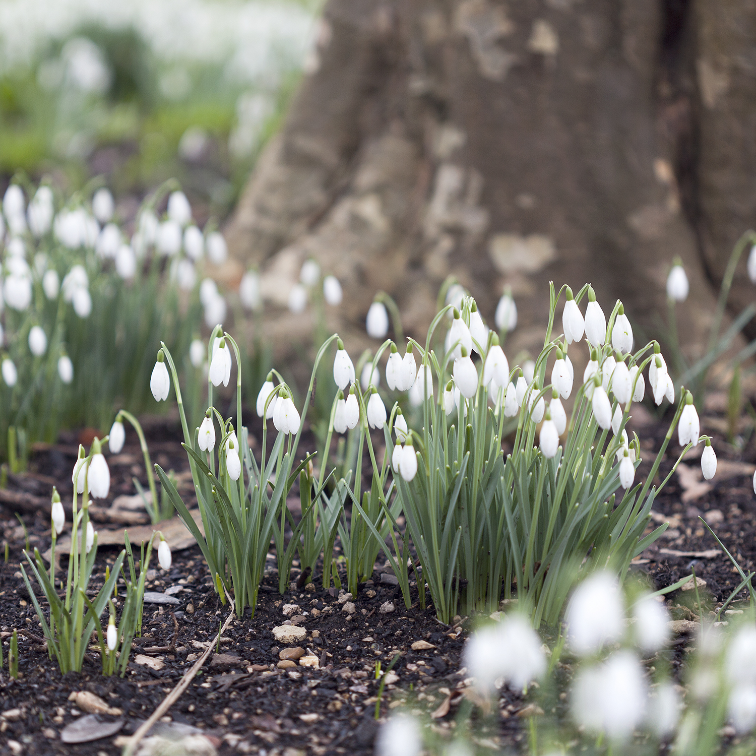 Setting my Intention for the New Year with a Word | Natasha Denness Coaching | natashadenness.co.uk (Photo of snowdrops)