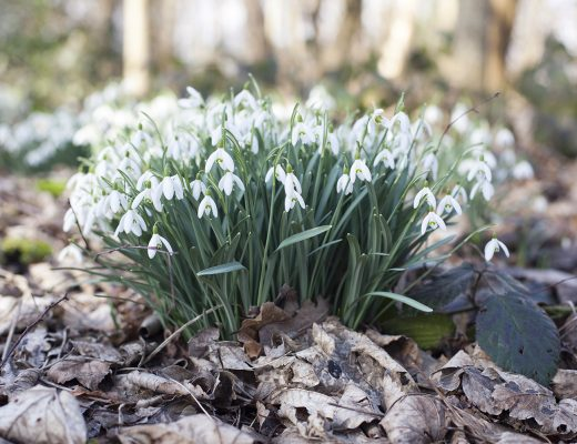 Simple Everyday Rituals to Support your Creative Life and Work | Natasha Denness Coaching | natashadenness.co.uk (Photo of snowdrops)