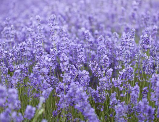 Digital Habits that Support my Life and Work | Natasha Denness Coaching | natashadenness.co.uk (image of lavender fields)