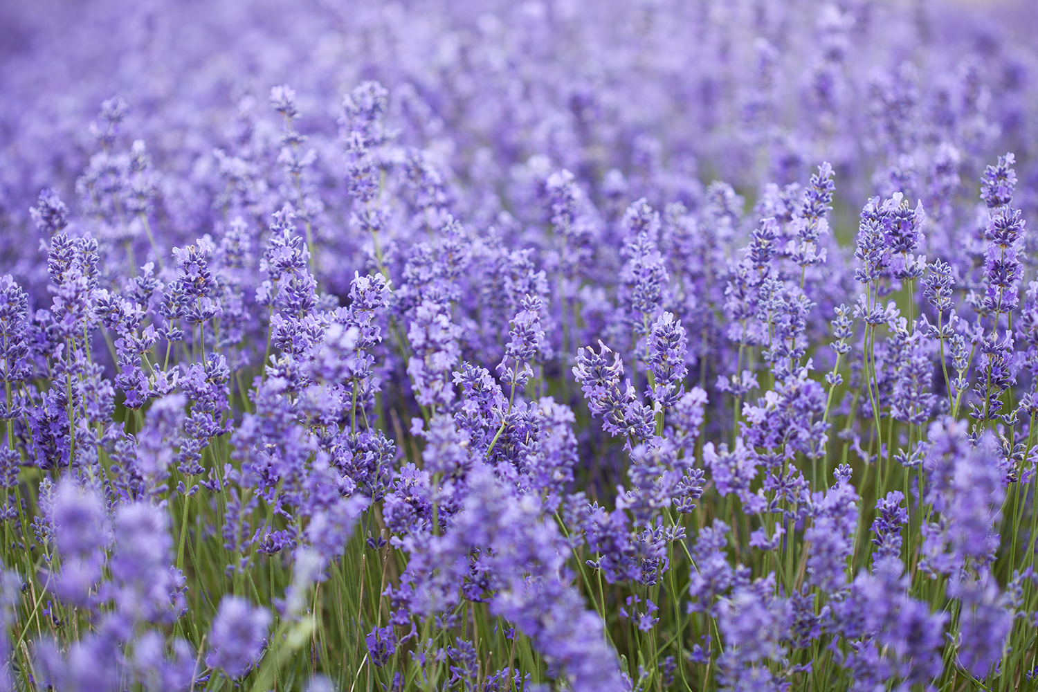 Simple Digital Habits that Support my Life and Work | Natasha Denness Coaching | natashadenness.co.uk (image of lavender fields)