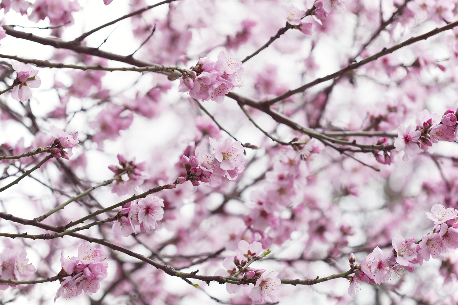 How to Avoid Distraction when you're Striving for Personal or Professional Success - Natasha Denness Coaching (photo of pink blossom)